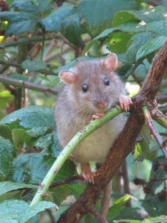 Ratty in Badocks Wood
