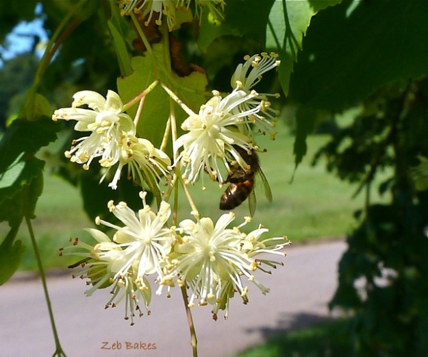 honeybee limeblossom