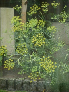 Fennel in flower