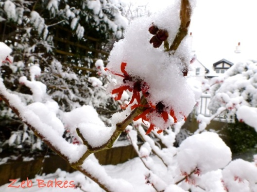 Witchhazel in Snow