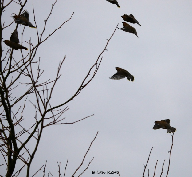 First Glimpse Of the Waxwings