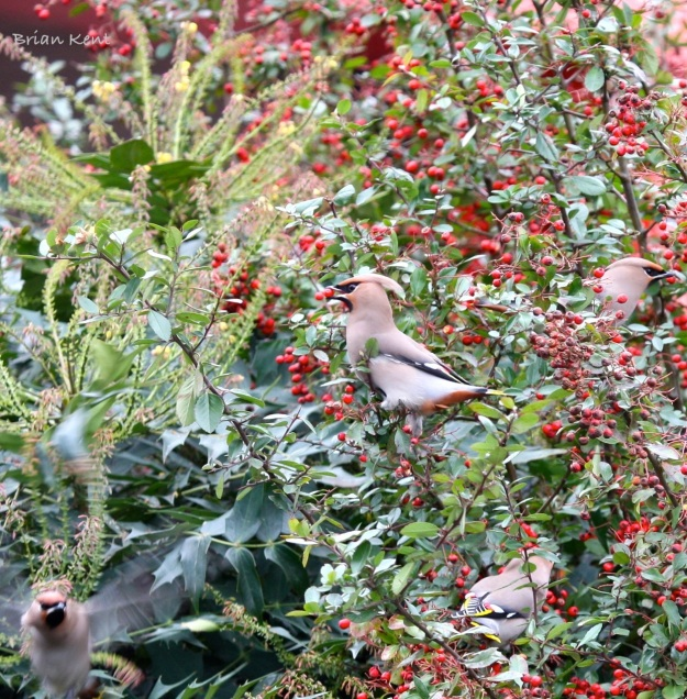 Waxwing eating Berries