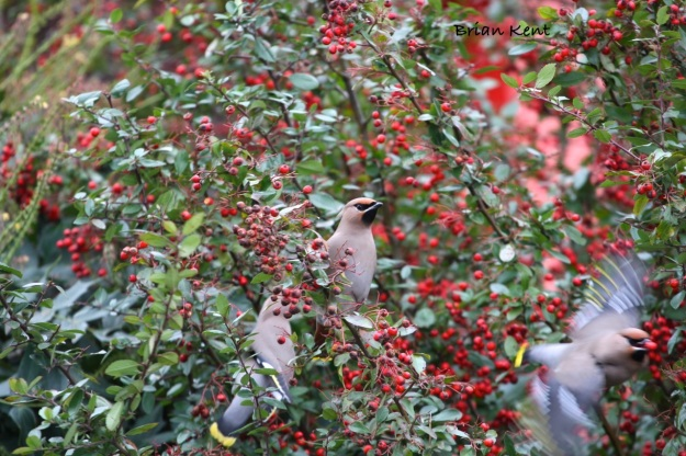 Fabulous Flying Waxwings