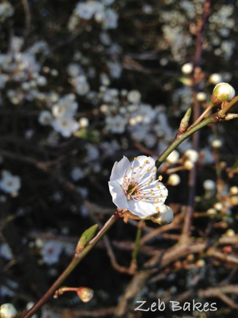This is always the sign of true spring for me, the fruit blossom on these trees in the hedge