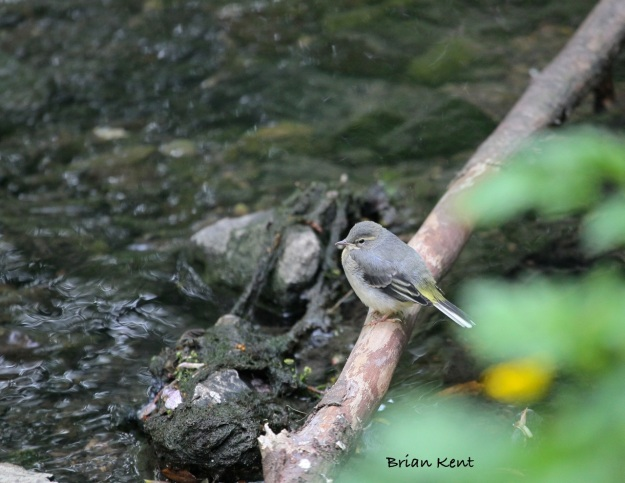 Grey Wagtail fledgling on branch