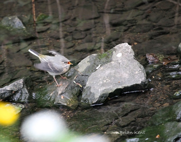Adult grey wagtail feeding baby
