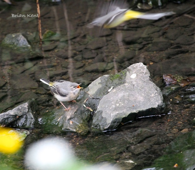 Grey Wagtail Fledgling Calling for Food