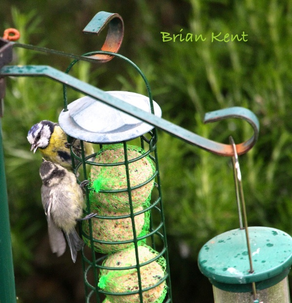 Bluetit feeding baby