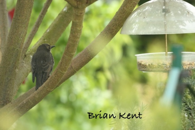 Baby Starling having a Think