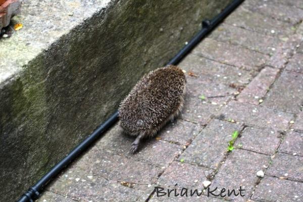 Hedgehog action shot