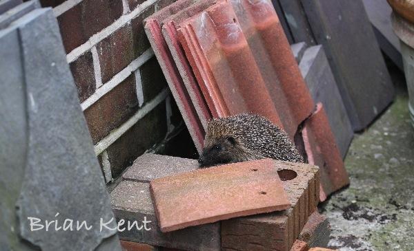 Hedgehog exploring