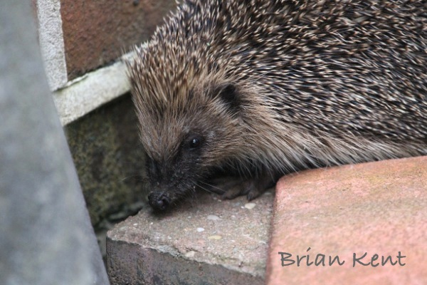 Brian's Hedgehog