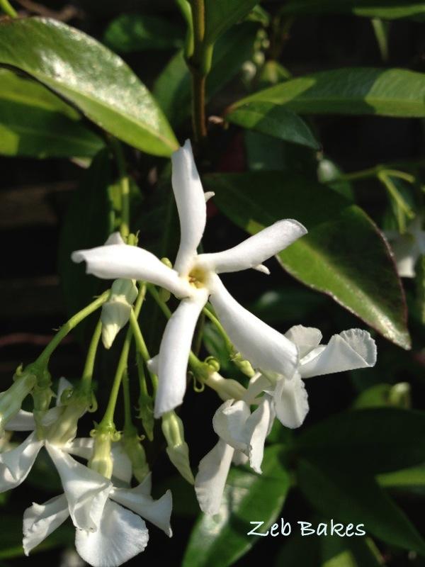 Trachelospermum Jasmonides