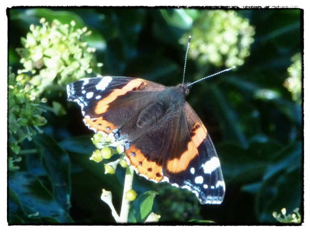 Red Admiral Ivy Flowers Clifton Bristol Zeb Bakes