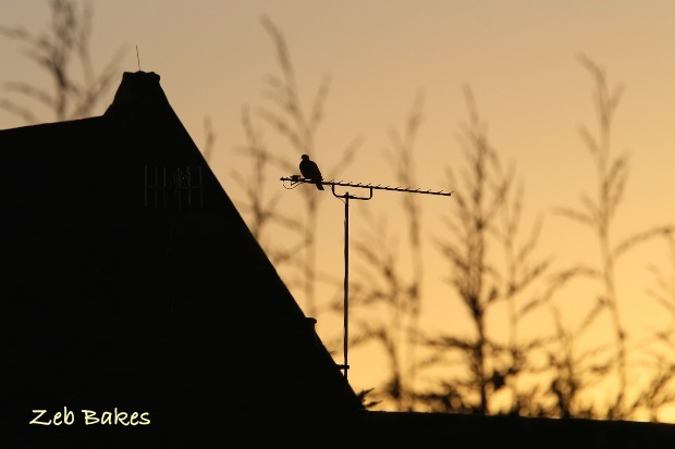Sunrise with Pigeon
