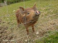 Wild Boar X Tamworth Piglet