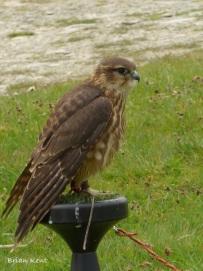 Merlin (juvenile)