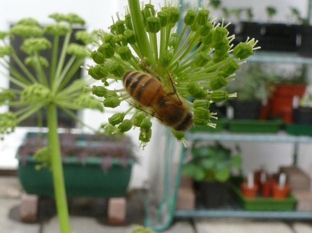 Bee, Angelica, Pots and Seedlings