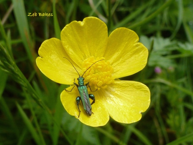 Buttercup with Oedemera nobilis