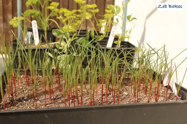 salsola seedlings, agretti
