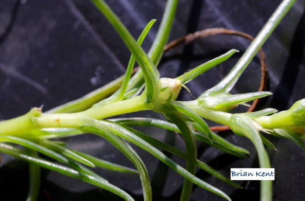salsola agretti forming seed